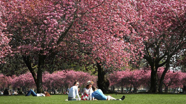 Les gens ont un pique-nique sous la fleur de cerisier à The Meadows, Edimbourg