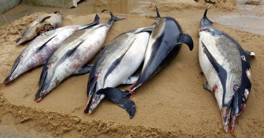 Dead dolphins on a shore of La Tranche sur Mer, on the Atlantic coast, western France. (Cecile Dars, Observatoire Pelagis, CNRS, Universite de la Rochelle via AP)