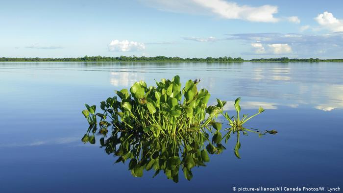 Une touffe de jacinthes d'eau poussant dans des eaux bleues (photo: picture-alliance / Photos du Canada / W. Lynch)