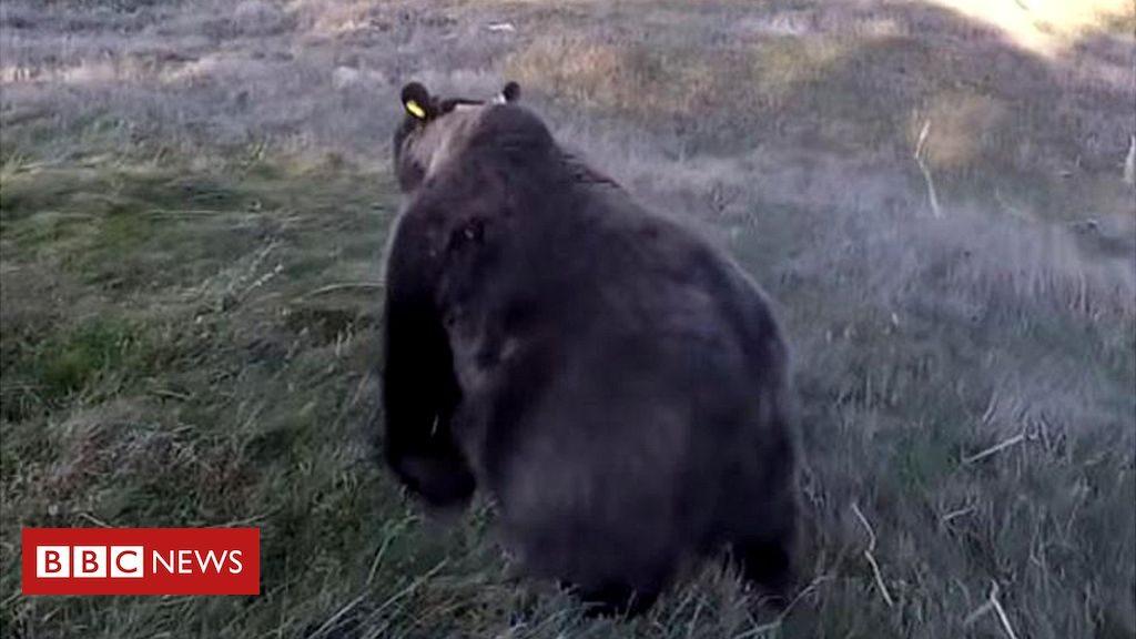 L'Espagne alarmée par les attaques d'ours français sur des moutons