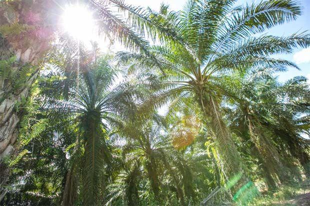 Nous ne sommes pas des ennemis de l'huile de palme, déclare l'envoyé français - Business News