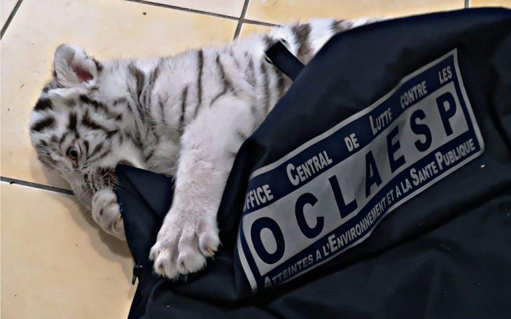 Un homme arrêté en France pour avoir gardé un tigre blanc