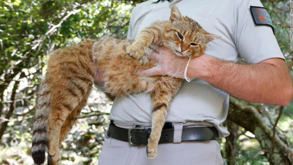 Wildlife rangers from France's National Hunting and Wildlife Office have located 16 of the golden striped 'cat-foxes' in remote areas of the French island of Corsica.