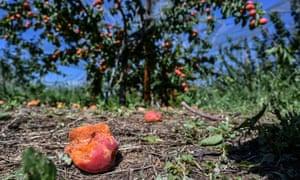 Abricots frappés par la grêle