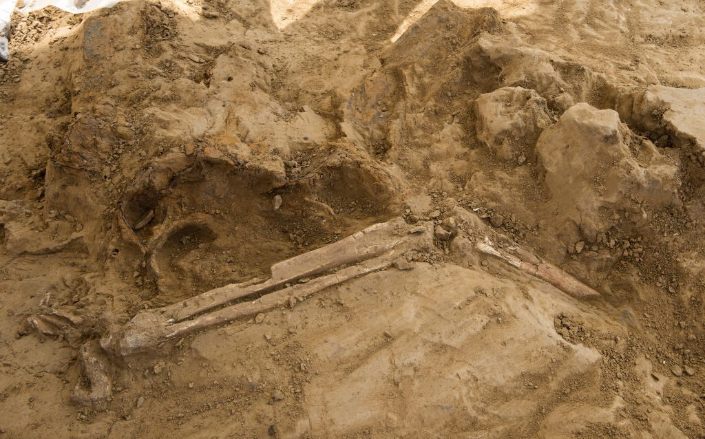 Membres amputés grisous, obusier français découverts sur le site de la bataille de Waterloo