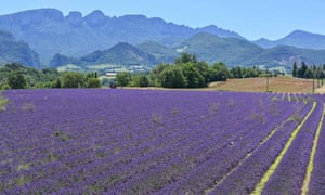 Champs de lavande dans le département de la Drôme, sud-est de la France.