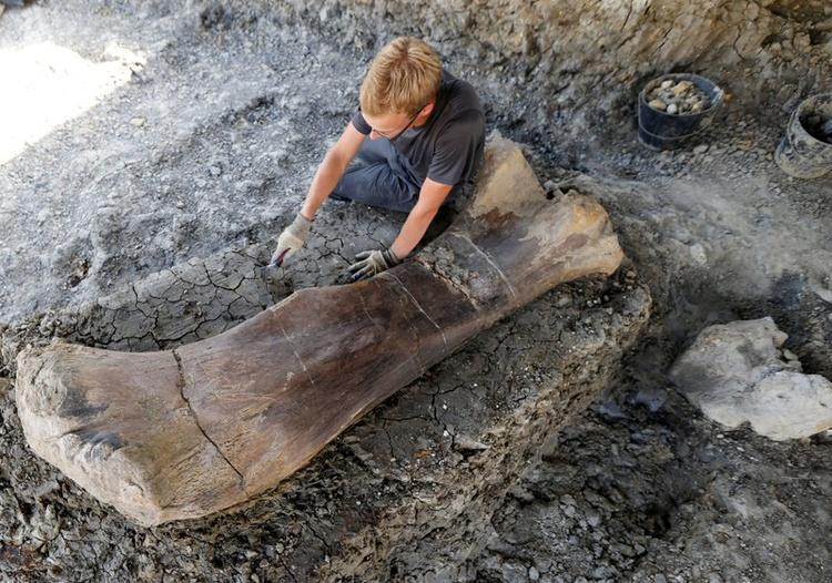 Un homme inspecte le fémur d'un Sauropod après qu'il ait été découvert plus tôt dans la semaine lors de fouilles sur le site paléontologique d'Angeac.
