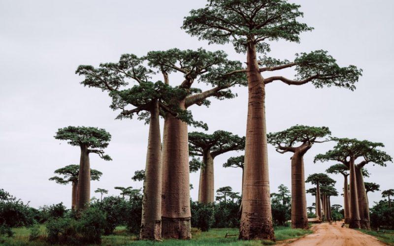 Madagascar Baobabs